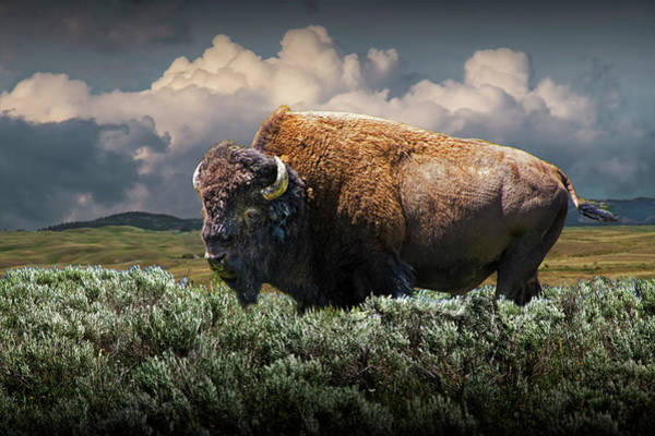 Photograph - American Buffalo Bison In Yellowstone National Park by Randall Nyhof