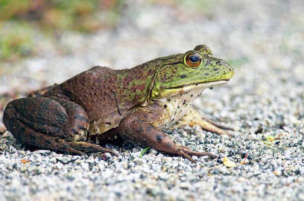 Photograph - American Bullfrog Female by Sharon Talson