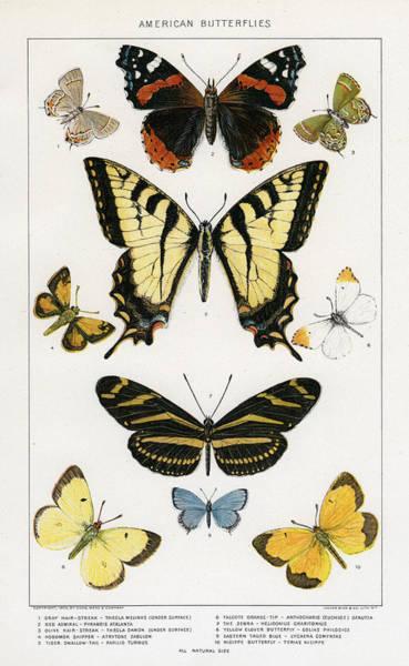 Butter Painting - American Butterflies by Julius Bien