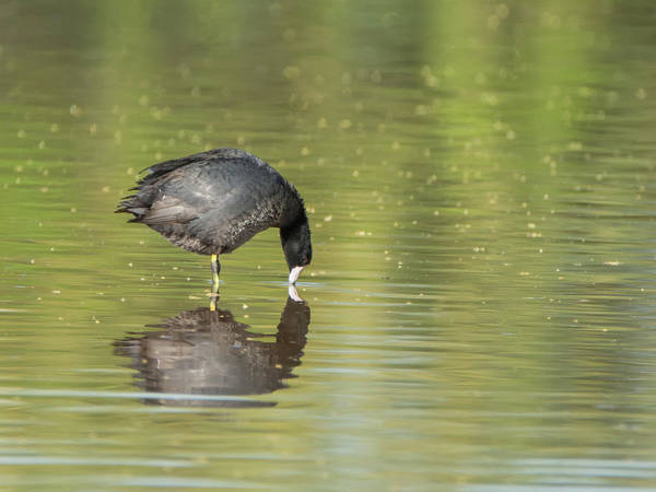Photograph - American Coot 7317-042518-1cr by Tam Ryan