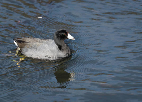 Photograph - American Coot by Robert Potts