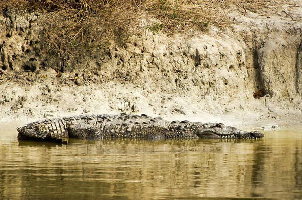 Wall Art - Photograph - American Crocodile by Rich Leighton