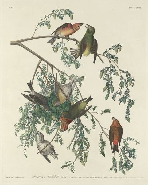 Crossbill Drawing - American Crossbill by Dreyer Wildlife Print Collections