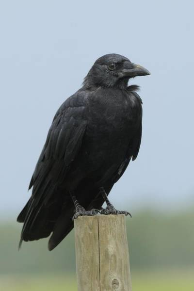 Photograph - American Crow On A Post by Bradford Martin