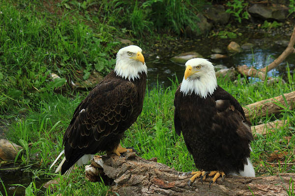 Photograph - American Eagles by Frank Vargo