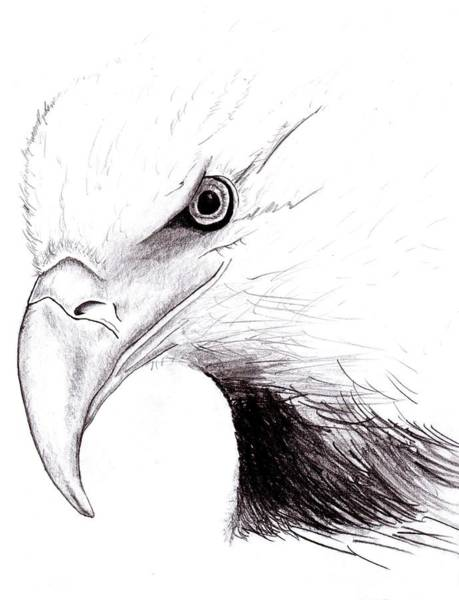 Bald Eagles Drawing - American Eagle by Peter Landis