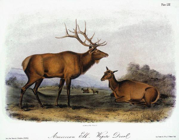 Wapiti Photograph - American Elk, 1846 by Granger