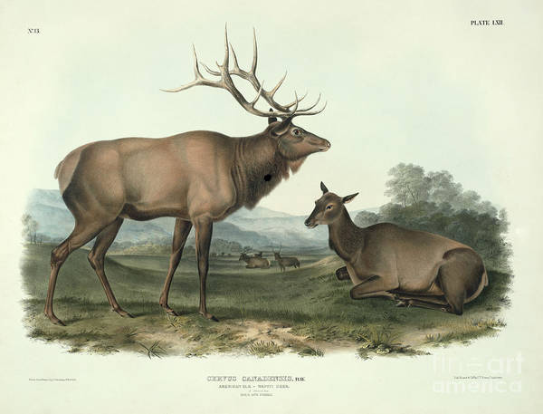 North American Wildlife Wall Art - Painting - American Elk by John James Audubon