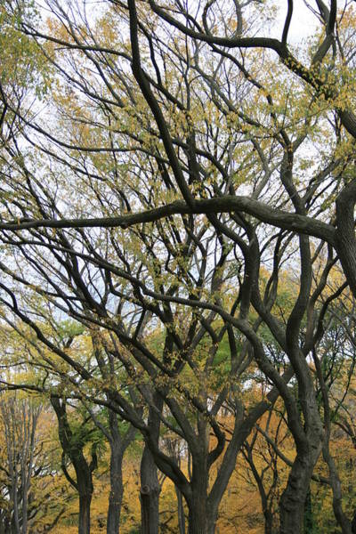 Elm Tree Photograph - American Elms Of Central Park by Christopher Kirby