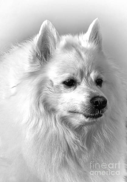 Photograph - American Eskimo Dog by Olivier Le Queinec