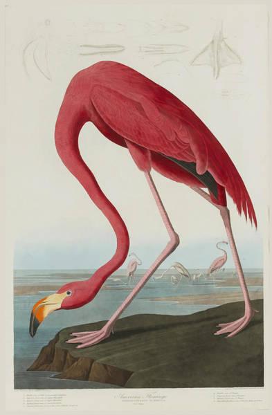 Flamingo Drawing - American Flamingo by After John James Audubon