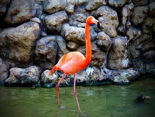 Photograph - American Flamingo by Cynthia Guinn