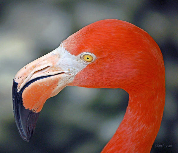 Photograph - American Flamingo by Donna Proctor