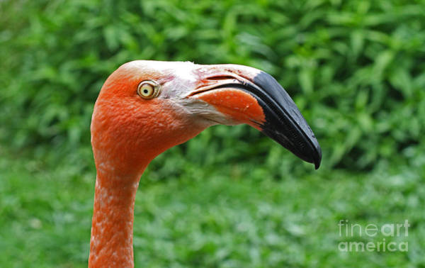 Photograph - American Flamingo by Kevin McCarthy