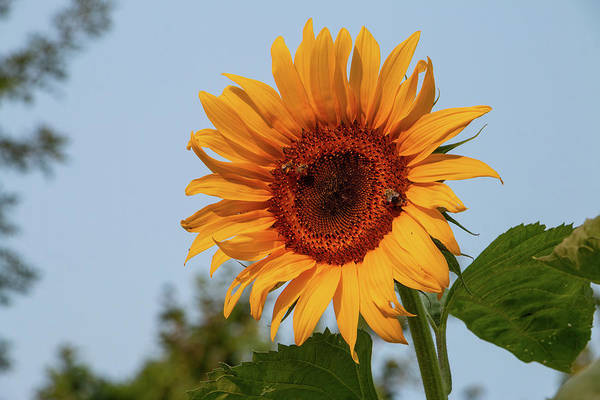 Photograph - American Giant Sunflower In The Morning by Jeff Severson