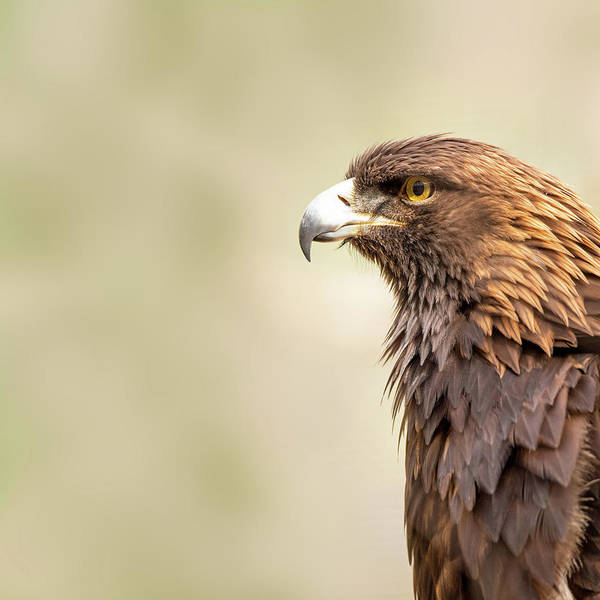 Golden Eagle Photograph - American Golden Eagle by Susan Schmitz