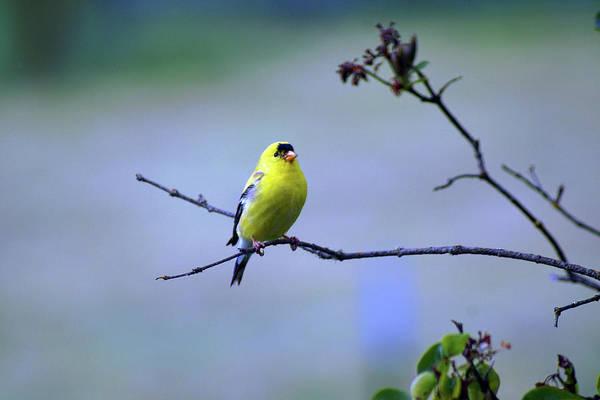 Photograph - American Goldfinch #11 by Ben Upham III
