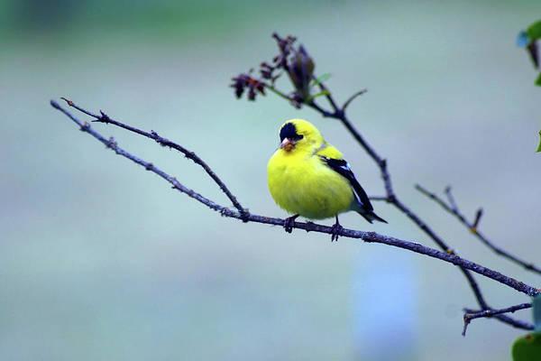 Photograph - American Goldfinch #12 by Ben Upham III