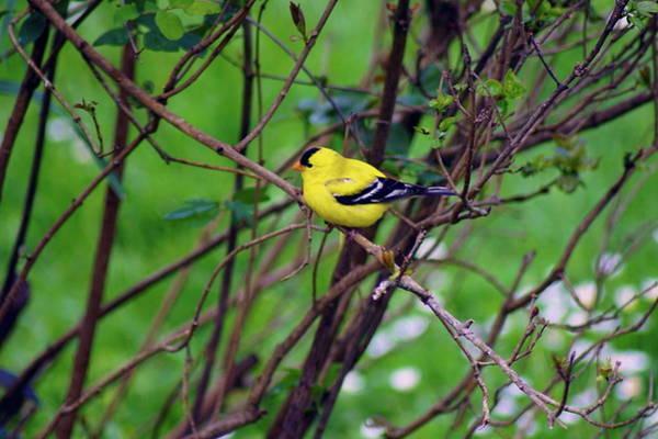 Photograph - American Goldfinch #3 by Ben Upham III