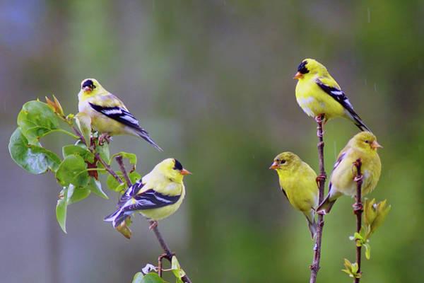 Photograph - American Goldfinch #6 by Ben Upham III