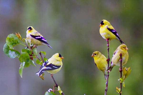 Photograph - American Goldfinch #6 Enhanced Image by Ben Upham III