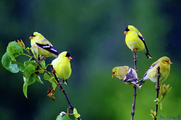 Photograph - American Goldfinch #8 Enhanced Image by Ben Upham III