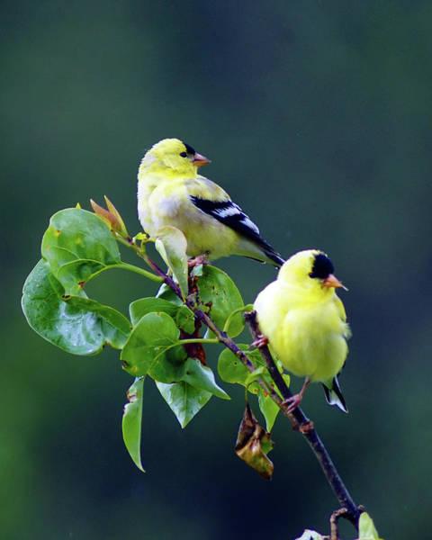 Photograph - American Goldfinch #9 by Ben Upham III