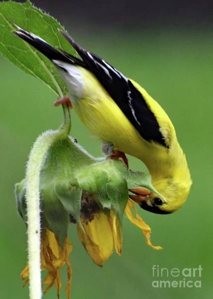 Wall Art - Photograph - American Goldfinch And The Sunflower by Cindy Treger