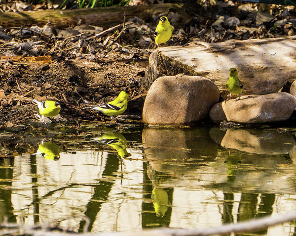 Photograph - American Goldfinch At The Watering Hole by TL Mair