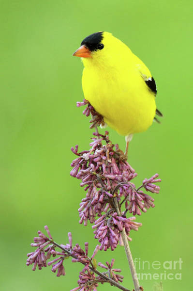 Wall Art - Photograph - American Goldfinch Atop Purple Flowers by Max Allen