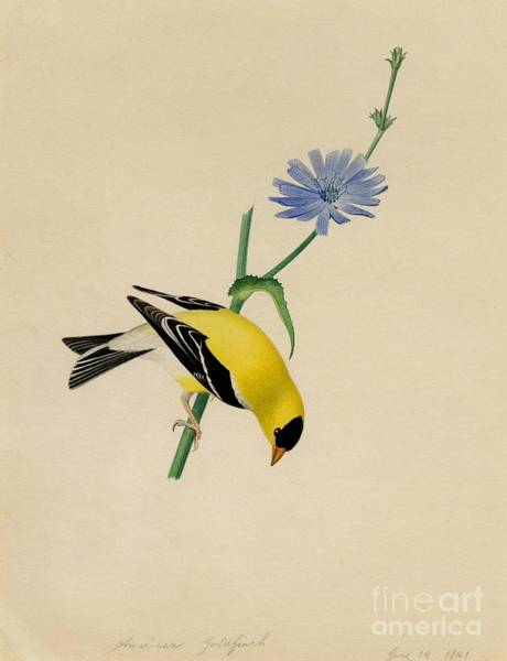Painting - American Goldfinch by Celestial Images