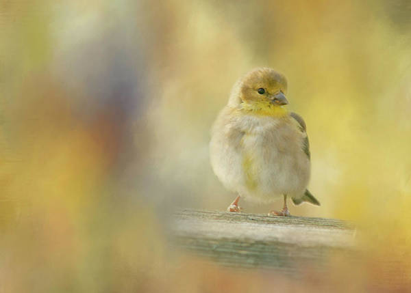 Bird Watcher Photograph - American Goldfinch by Cindi Ressler