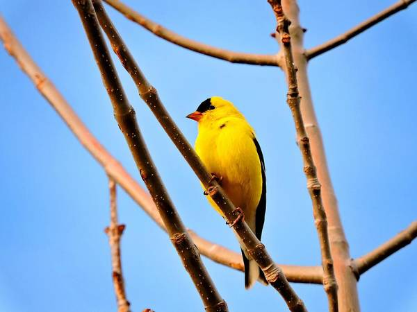 Arapahoe County Wall Art - Photograph - American Goldfinch by Connor Beekman