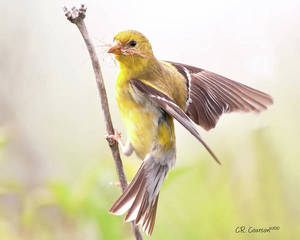 Crossbill Photograph - American Goldfinch  by CR  Courson