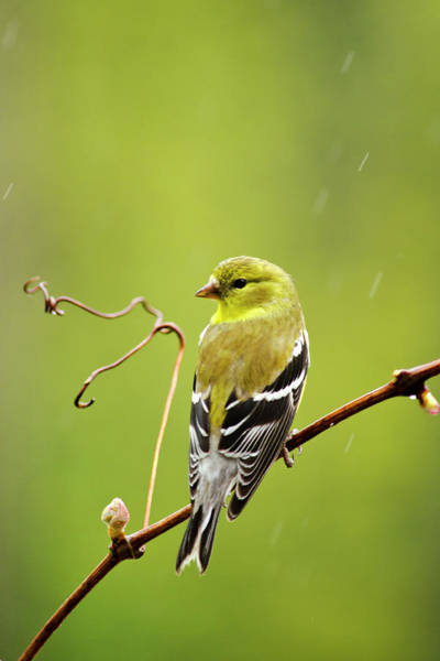 Photograph - American Goldfinch In The Rain by Christina Rollo