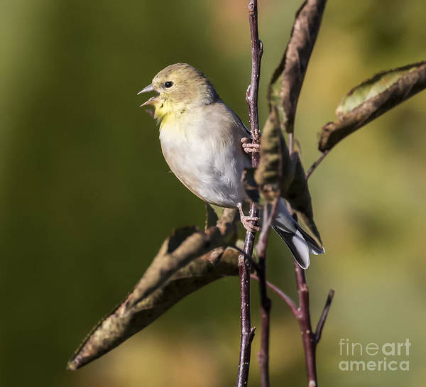 Photograph - American Goldfinch In Fall Colors  by Ricky L Jones