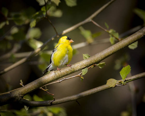 Photograph - American Goldfinch by Jack R Perry