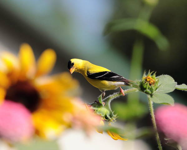 Photograph - American Goldfinch by John Moyer