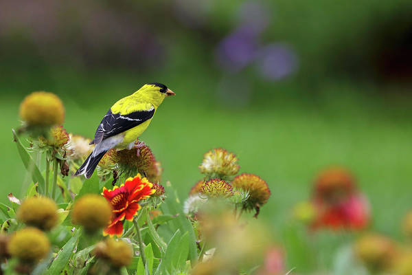 Photograph - American Goldfinch by Juergen Roth