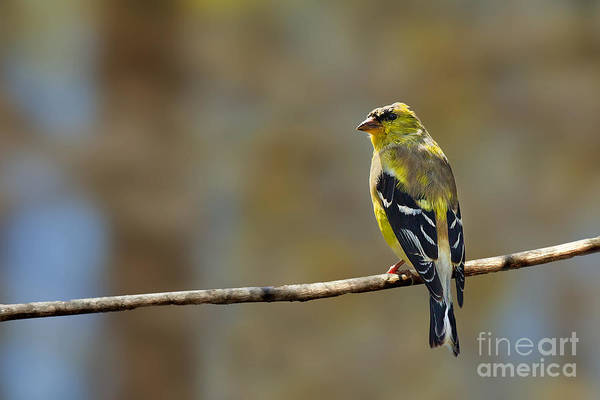 Photograph - American Goldfinch Male by Jemmy Archer