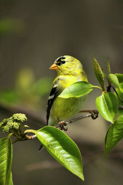 Photograph - American Goldfinch On Branch by Christina Rollo
