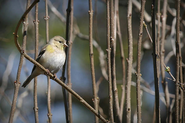 Photograph - American Goldfinch by Patricia Montgomery