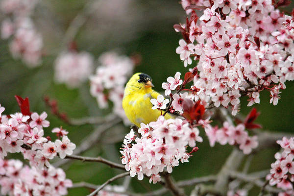 Photograph - American Goldfinch by Trina  Ansel