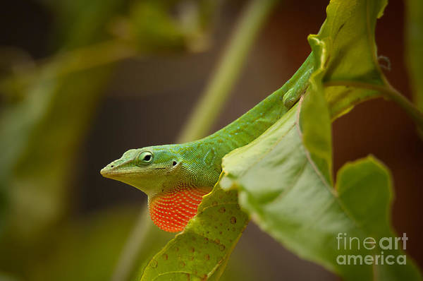 Photograph - American Green Anole by Photos By Cassandra