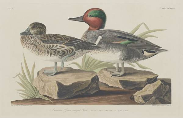 Wall Art - Drawing - American Green-winged Teal by Dreyer Wildlife Print Collections