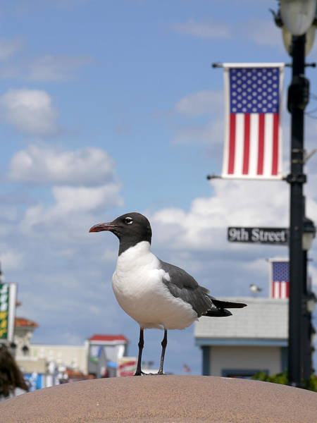 Photograph - American Gull  by Richard Reeve