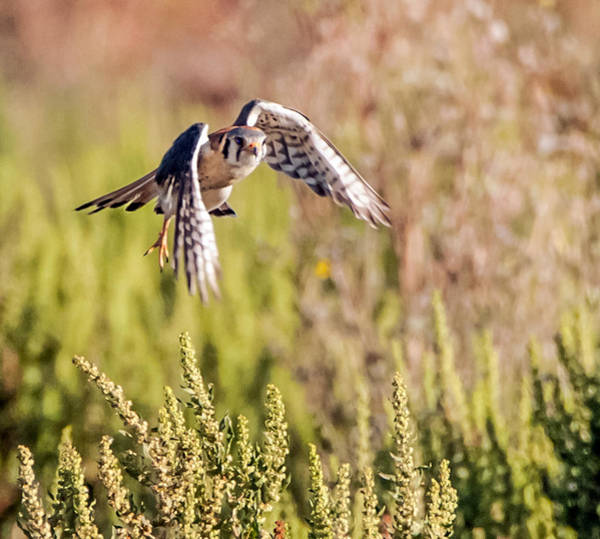 Photograph - American Kestral In Flight 2 by Tam Ryan