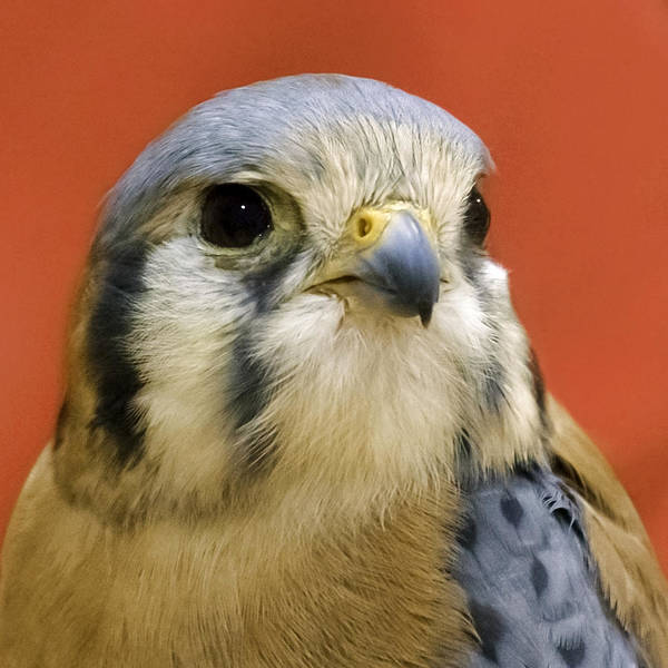 Photograph - American Kestral by Wes and Dotty Weber