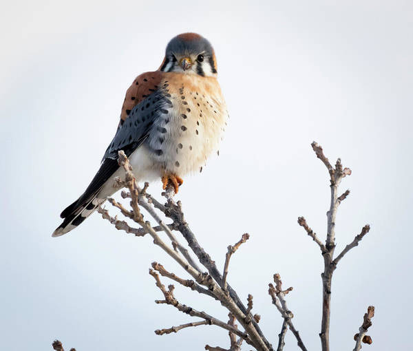 Photograph - American Kestrel At Bender by Ricky L Jones