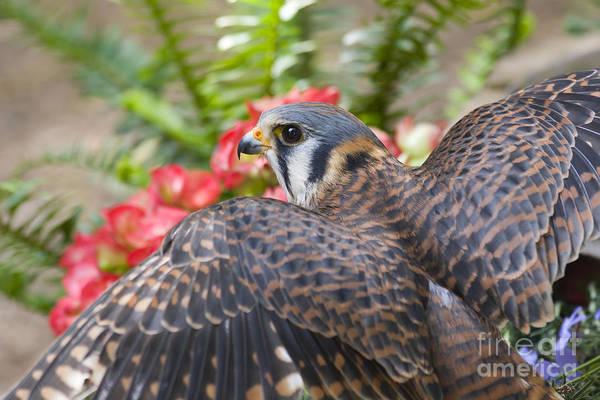 Photograph - American Kestrel Close Up by Jill Lang